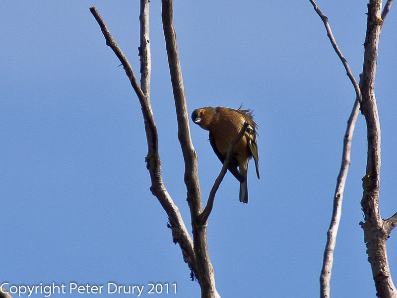 06 April 2011. Chaffinch (male) on the Hayling Billy Trail.  Copyright Peter Drury 2011