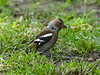 Chaffinch (Fringilla coelebs) - Female. Copyright Peter Drury 2010
