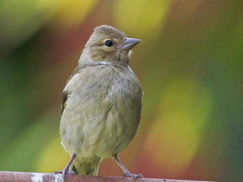 Chaffinch (Fringilla coelebs) - Female. Copyright Peter Drury 2010