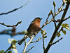 Chaffinch (Fringilla coelebs) - Male<br /> Hermitage Stream, Broadmarsh, Langstone Harbour
