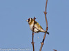 28 January 2011. Goldfinch at the oysterbeds, Hayling Island.  Copyright Peter Drury 2011