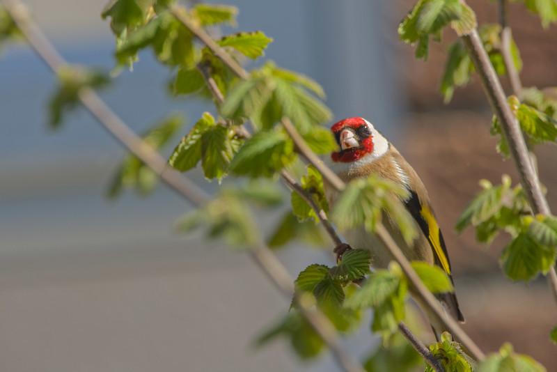 28 April 2015 Goldfinch