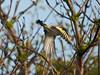 Goldfinch (Carduelis carduelis). Copyright 2009 Peter Drury