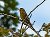 Greenfinch (Carduelis chloris). Copyright 2009 Peter Drury<br /> Portsdown Hill, Portsmouth