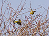 21 March 2011. Greenfinch in flight in the marsh alongside the Hayling Billy Trail.  Copyright Peter Drury 2011