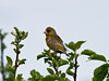 Greenfinch (Carduelis chloris)<br /> Widley, Hampshire