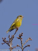 21 March 2011. Greenfinch on the Hayling Billy Trail.  Copyright Peter Drury 2011