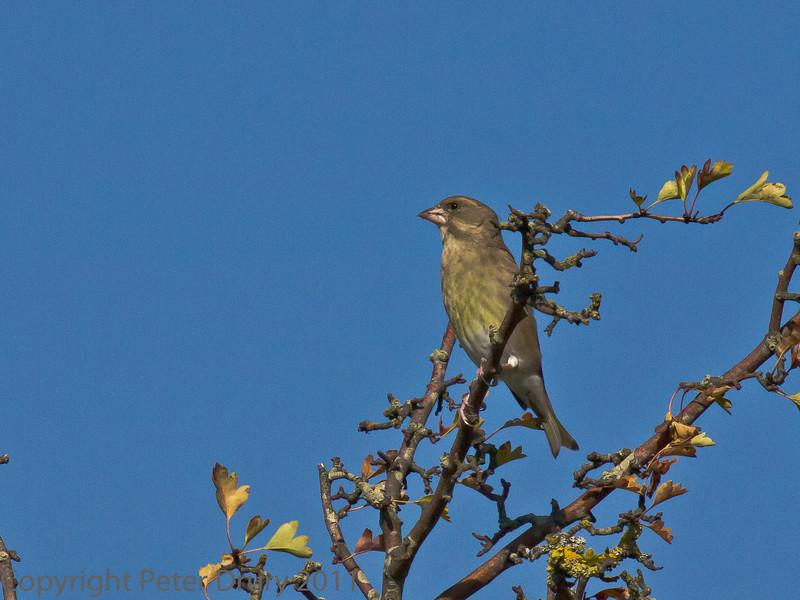 02 Oct 2011 Greenfinch at Farlington Marshes