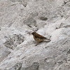 Linnet (Carduelis cannabina). Copyright 2009 Peter Drury<br /> Old chalk quarry, Portsdown Hill, Paulsgrove