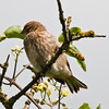 Linnet (Carduelis cannabina). Copyright 2009 Peter Drury<br /> Fledgling awaiting feeding<br /> Portsdown Hill, Portchester