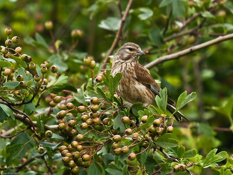 Linnet (Carduelis cannabina) - Female. Copyright 2009 Peter Drury<br /> Portsdown Hill, Portsmouth