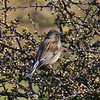 21 March 2011. Linnet on the Hayling Billy Trail.  Copyright Peter Drury 2011