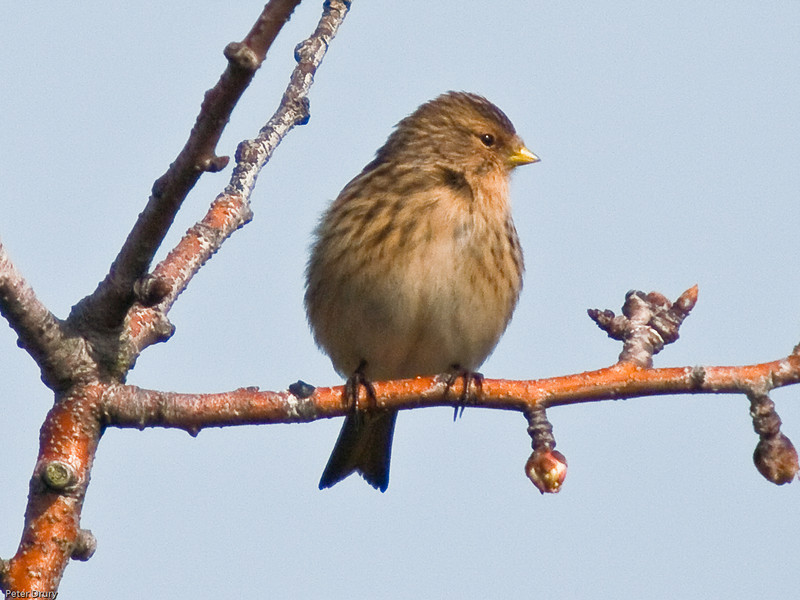 Twite (Carduelis flavirostris). Copyright 2009 Peter Drury<br /> Farlingtpn Marshes, Langstone Harbour