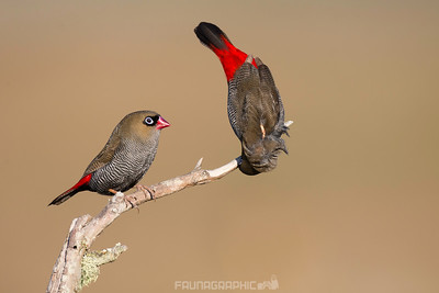 Beautiful Firetails