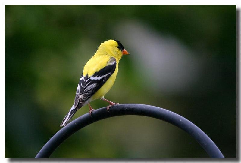6-25-06 Goldfinch