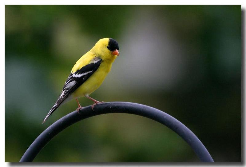 6-25-06 Goldfinch 1