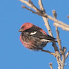 white-winged crossbill: Loxia leucoptera, Rideau River