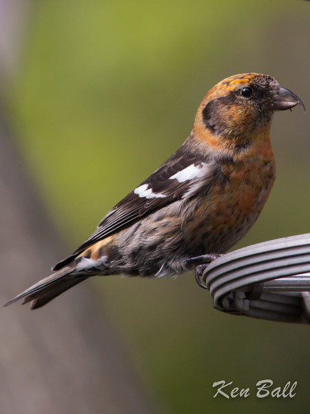 white-winged crossbill: Loxia leucoptera,  yard