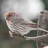 house finch: Carpodacus mexicanus, orange, variant, yard