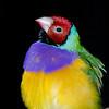 Gouldian finch,