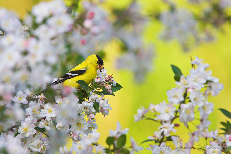 American Goldfinch<br /> Ithaca, NY