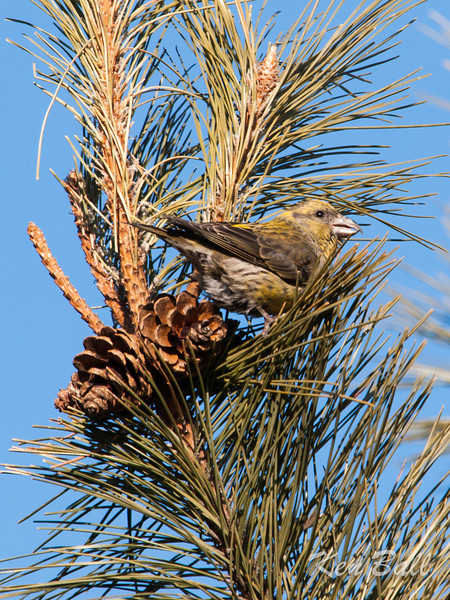 female, Kingston, Lemoine Point, red crossbill: Loxia curvirostra