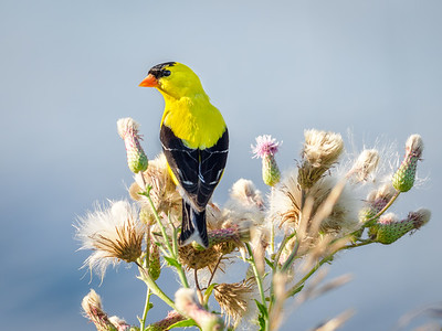 Goldfinch on Thistle
