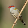 Red-browed Finch, Tallebudgera, Gold Coast.