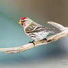 common redpoll: Carduelis flammea, Shirley's Bay Hilda Road