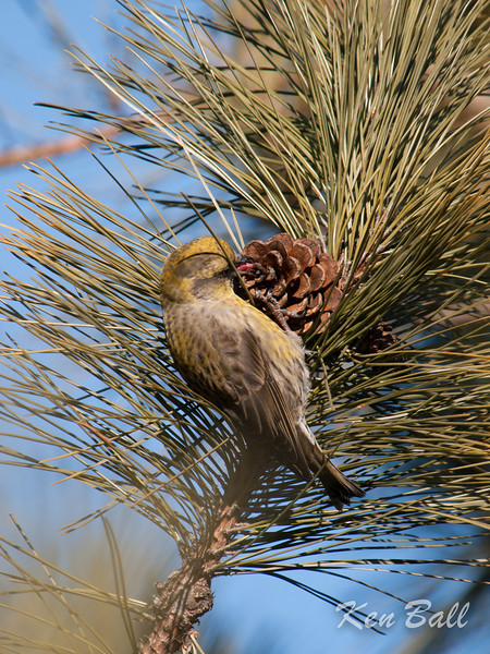Kingston, Lemoine Point, red crossbill: Loxia curvirostra, Wildlife