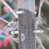 Common Redpoll and Pine Siskin