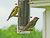 American Goldfinch and Purple Finch