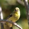 American Goldfinch-Male.