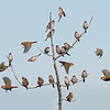Red-browed Finches (Neochmia temporalis)