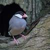 Java Sparrow (Rice Bird)