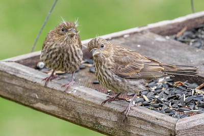 Baby House Finches