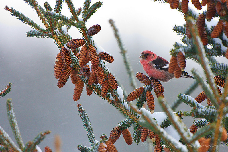 White-winged Crossbill<br /> Dryden, NY