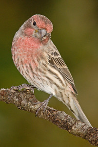 For some reason, House Finches are happy to pose.