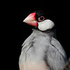 Java Sparrow, Hong Kong.