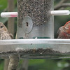 House finch - male and female