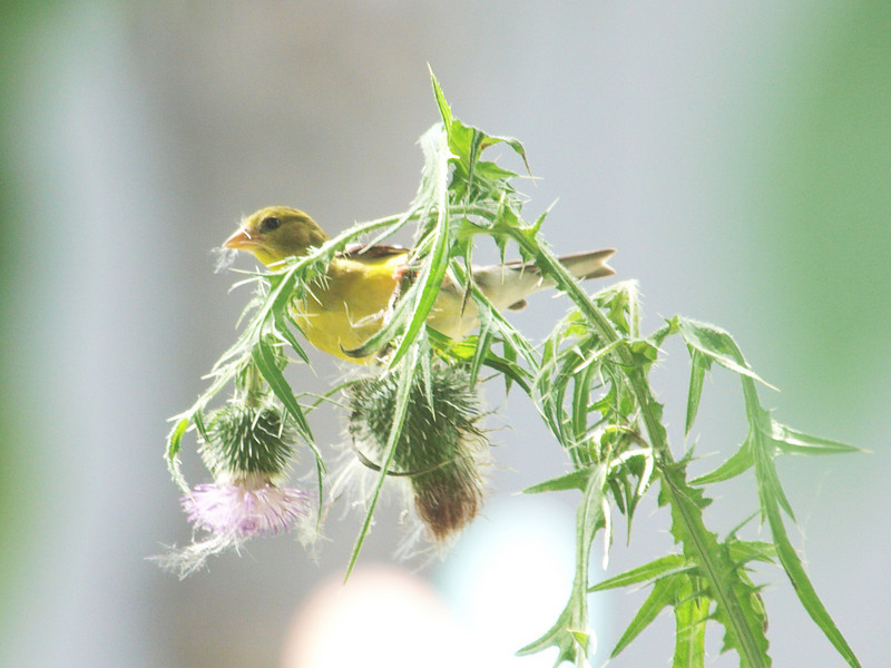 American Goldfinch-Female-Collecting thistle for nesting.