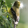 American Goldfinch-Male-Collecting thistle for nesting.