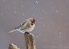 Common Redpoll<br /> Freeville, NY