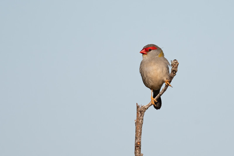 Red-browed Finch (Neochmia temporalis)