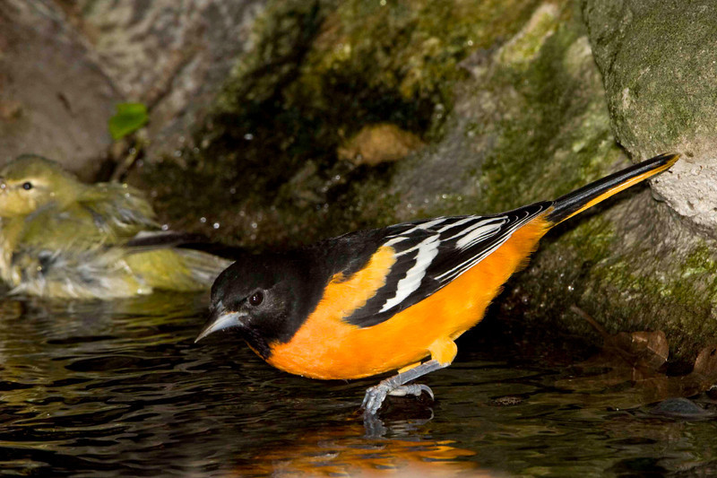 Northern-Baltimore-Oriole male bathing