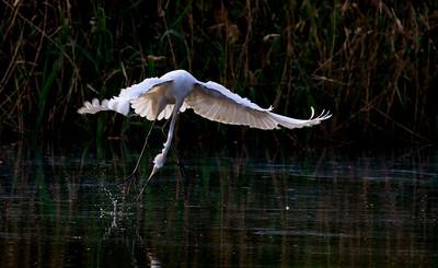 Egret Fly Fishing at Nam Sang Wai