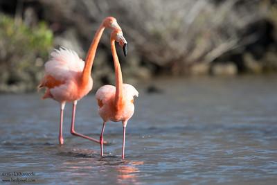 Greater Flamingo - Isla Santa Cruz, Galapagos, Ecuador