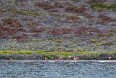 Greater Flamingoes - Galapagos, Ecuador