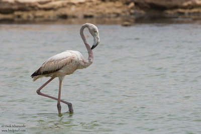 Greater Flamingo - Kutch, Gujrat, India