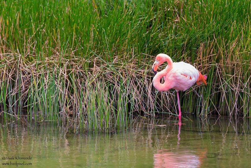 Greater Flamingo - Punta Moreno, Isla Isabela, Galapagos, Ecuador